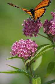native plant source 21 best monarchs and native plants images on pinterest native