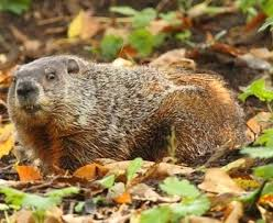 32 groundhogs images ground hog adorable