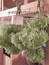 Dried Hydrangeas Dried Hydrangea Ideas Grandparentsplus Com