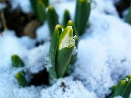 beautiful snowdrops flowers pictures and meaning i daydream of