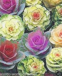 decorative ornamental cabbage seeds mix hybrids colours all
