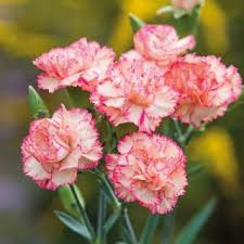 carnation flowers seeds carnation mixed colour hybrid flowers seeds buy seeds
