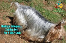 yorkie haircuts for a silky coat yorkie blog yorkie puppies for sale teacup toy dogs moringa for