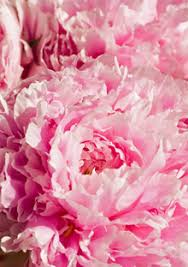 where to buy peonies 6 tips for growing and buying peonies