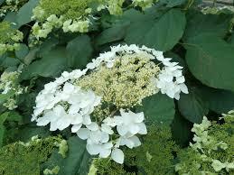 hydrangea hydrangea arborescens u0027haas halo u0027smooth hydrangea u2013 sunlight gardens