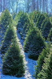 christmas trees near me cornett and deal christmas tree farmnc