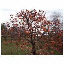 fuyu persimmon tree 2 gallon potted plant growers solution