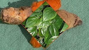 cara membuat jamu kunir asem sirih 5 manfaat kunyit cur daun sirih yang akan mengejutkan anda