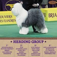 westminster australian shepherd 2014 westminster kennel club dog show archives chabdog sports blog