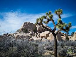 cool trees joshua tree national park california