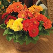 gerbera colors gerbera cartwheel autumn colors f1 harris seeds