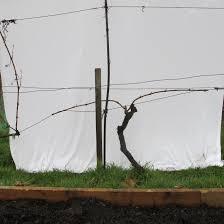 cane pruning urban wine grower