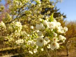 ornamental pear trees surfing hydrangea nursery inc