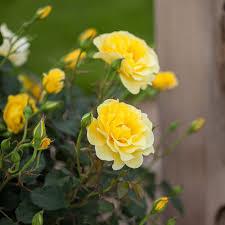 elegance rose easy elegance yellow submarine white flower farm
