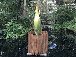 see and smell nyc u0027s corpse flower bloom business insider