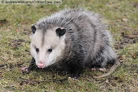 Possum In My Backyard Opossum More Teeth Than Any Mammal In North America