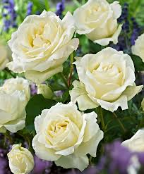 bouquet de fleurs roses blanches la rose blanche fleur de la pureté et de l u0027amour u2026 le jardinage
