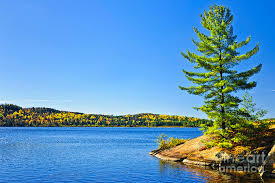 pine tree at lake shore photograph by elisseeva
