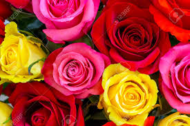 colorful roses colorful roses background stock photo picture and royalty free