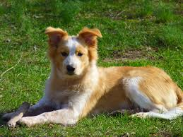 australian shepherd puppy training puppy training collie mix dogs just how smart are they