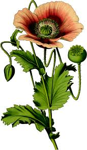 opium free stock photo of opium poppy plant vector clipart public