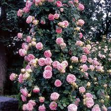rose eden pink rose
