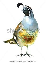california quail stock images royalty free images u0026 vectors