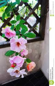 climbing rose on wood trellis stock photo image 48730730