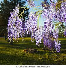 hanging flowers hanging flowers bright purple flowers from a wisteria plant