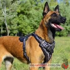 belgian shepherd labrador cross belgian malinois harness with barbed wire design h1bw 1092