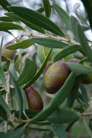 growing olive trees outdoor and indoor olive tree care