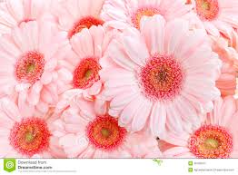pink gerbera daisies stock image image of lovely anniversary