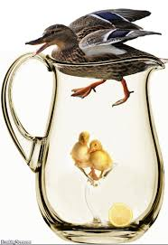 funny duckling pictures freaking news