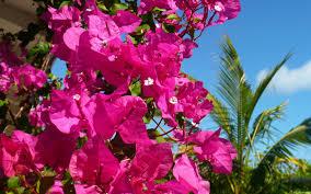 Palm Tree Wallpaper Bougainvillea Tree Wallpaper