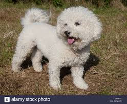 poodle x bichon frise hypoallergenic dog stock photos u0026 hypoallergenic dog stock images