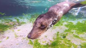 calm cool and collected old sea lion swimming around me
