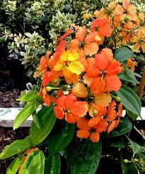 native plants nursery perth bauhinia kokkiana jpg