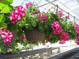 10 Perennials That Thrive In by 10 Most Beautiful Flowers To Grow In Hanging Basket Beautiful