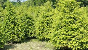 browns tree wholesale christmas trees evergreen services brown s tree farm