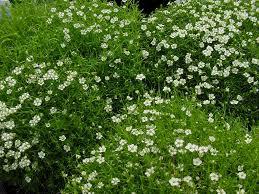irish native plants moss sagina subulata pearlwort irish moss photo courtesy of