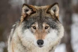 where did wolves originate and are they hybrids