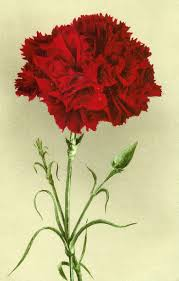 best 25 red carnation ideas on pinterest events hanging