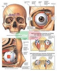 Anatomy Of The Eye Anatomy Of The Eye Socket Eye Orbit Anatomy Anterior2 Jpg