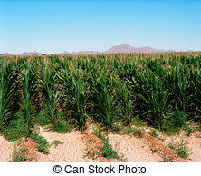 irrigated corn irrigated corn field double rows of planted corn on built
