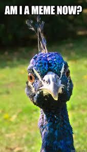 Peacock Meme - am i a meme now funny face peacock quickmeme