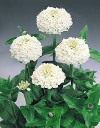 plants native to oklahoma zinnia oklahoma white the 2 inch double and semi double
