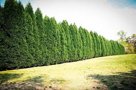 leyland cypress the best privacy tree the tree center