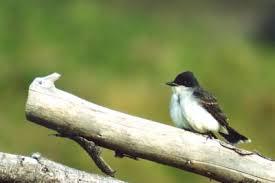 Florida Backyard Birds - american robin kingbirds bluebirds and chickadees of north america