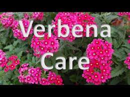 Verbena Flower Verbena Care Youtube