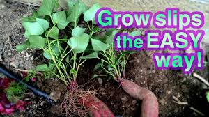 How To Store Garden Vegetables For Winter How To Grow Sweet Potato Successfully It U0027s Super Easy Youtube